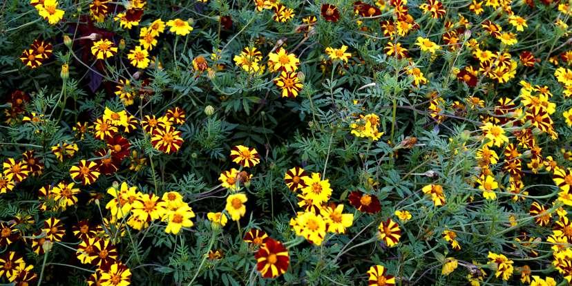 Una distesa di fiori - Foto Acabashi